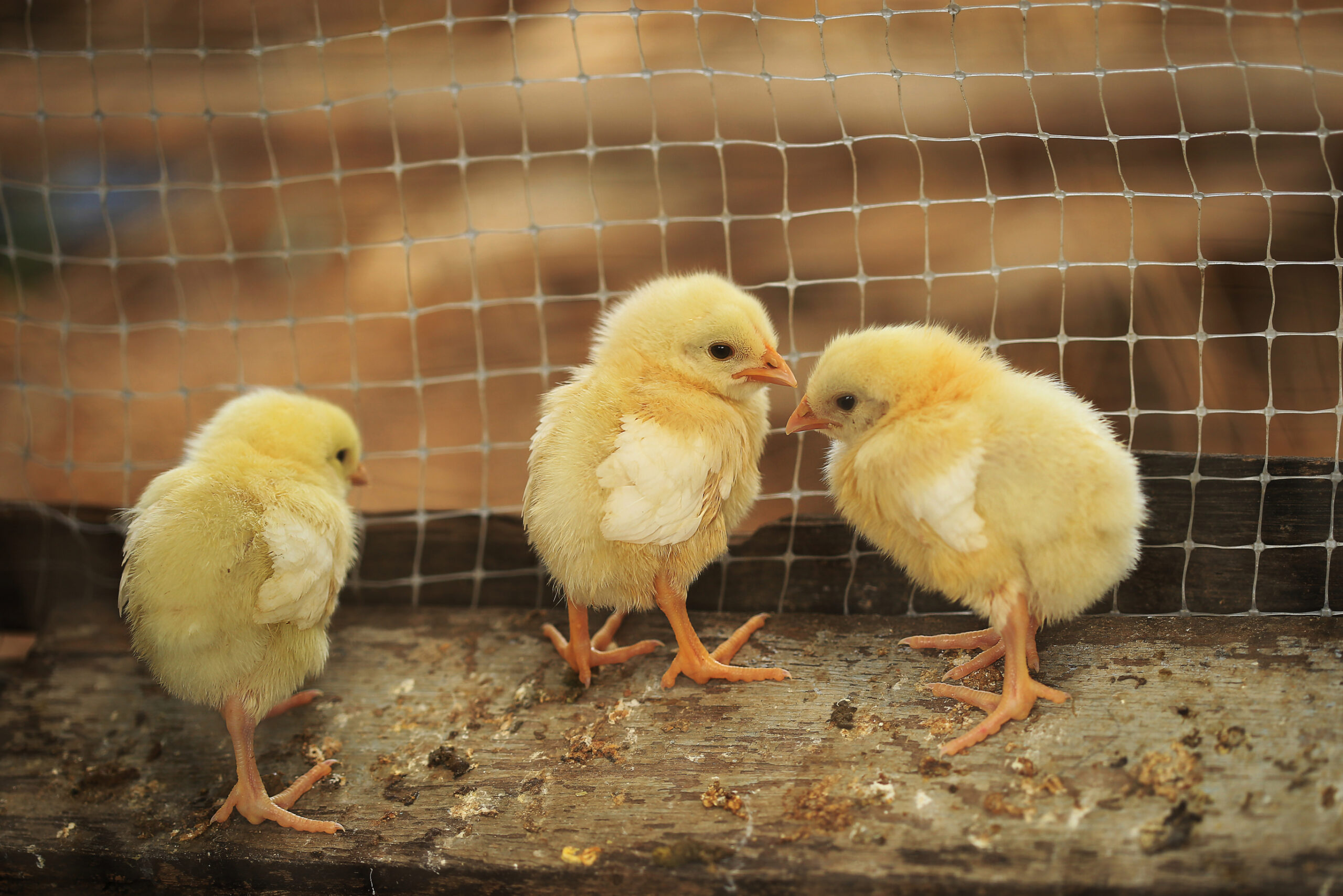 chicks in a coop